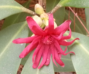 Flowering anise - another witch hazel look-a-like