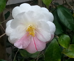 Camillia in full flower