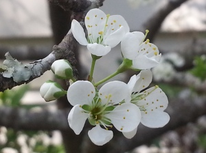 South Carolina native plum - always the first sign of Spring and while not pictures these blossoms are brimming with bees!