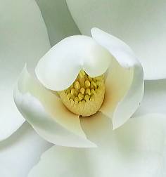 The heart of the Magnolia flower